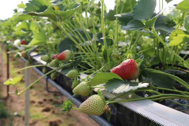 Substrate Strawberries
