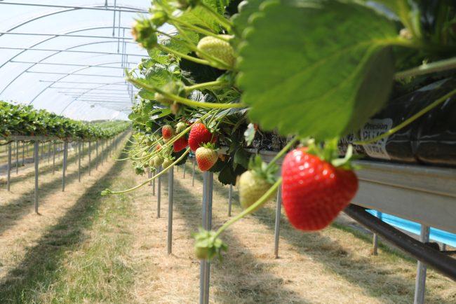 Tabletop Strawberries June 19